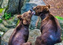Bacio selvaggio Fotografie Stock Libere da Diritti