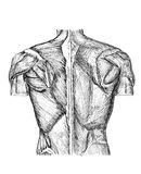 Back. Pen and ink anatomical drwaing of the back of a man showing muscles, illustration was drawn by photographer Stock Photo