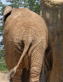 Back of african elephant Royalty Free Stock Photography