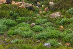 Back of an alpine marmot blending into the rocks. In a green meadow stock image