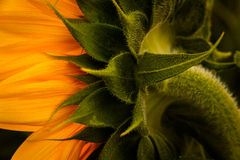 Back angle of sunflower Royalty Free Stock Images
