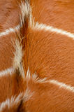 Back of a antilope Royalty Free Stock Image