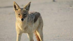 Back-backed jackal native to Africa. Location Foz de Cunene, Angola - Ioana National Park. Yellow eyes stock photos