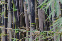 Bamboo species that are rare. Stock Photography