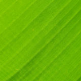 Back of banana leaf texture background Royalty Free Stock Image