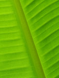 Back of banana leaf texture background Royalty Free Stock Photos