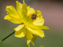 The back of the bee which is ready to fly. Royalty Free Stock Images