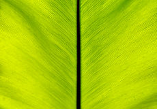 Back of Bird`s Nest Fern Leaf Stock Photography
