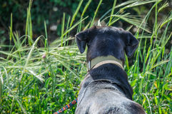 Back of black dog looking out Royalty Free Stock Images