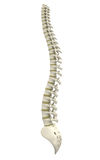 Back bone Royalty Free Stock Images