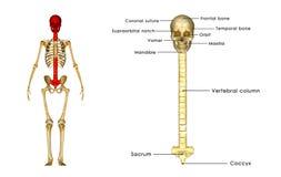 Back bone with skull Stock Photography