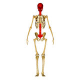 Back bone with skull and sacrum front view Royalty Free Stock Photo