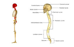 Back bone with skull side view. The human skull is a bony structure, the head in the skeleton, which supports the structures of the face and forms a cavity for Royalty Free Stock Photography