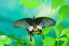 Back butterfly on green leaves.  Stock Image