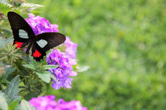 Back Butterfly on Purple Flowers Background Stock Images