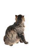 Back of cat. Sitting cat isolated on white background royalty free stock photo