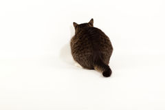 Back cat. An  photo of a black and grey tabby cat Royalty Free Stock Photos