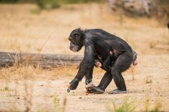 Common chimpanzee with a baby chimpanzee stock photo