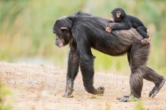 Common chimpanzee with a baby chimpanzee. On the back of a Common chimpanzee there is a baby chimpanzee royalty free stock photos