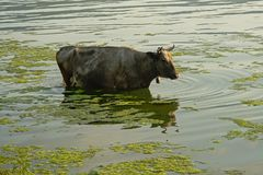 Back cow standing in the rippling water of river Danube. Back cow standing in the water of river Danube on the Romanian countryside - Bos Taurus stock photo