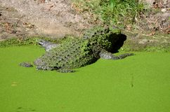 Back of a crocodile Royalty Free Stock Images