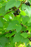 Back currant bush. In the garden Stock Image