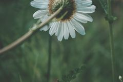 Back of Daisy. behind a daisy flowers against  green landscape. Stock Photos