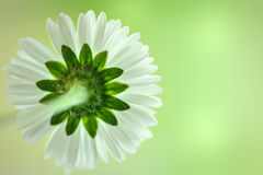 Back of a daisy with selective focus Royalty Free Stock Image