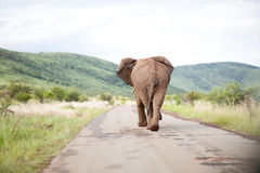 Back of elephant walking. View of the back of an elephant walking or running down a road. Mountain range in the distance Stock Photography
