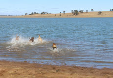 The back end of large friendly dogs romping in water Royalty Free Stock Image