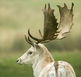 Back of a Fallow deer's head stock images