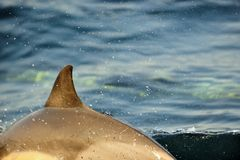 Back fin of a dolphin, swimming in the ocean Royalty Free Stock Photo