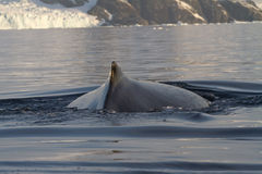 Back  and fin and humpback whales in Antarctic. Waters Royalty Free Stock Photo
