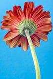 Back Gerbera Daisy Flower Stock Photography