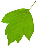Back of green ash tree leaf Stock Photos