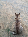 Back of Grey Cat Waiting Royalty Free Stock Photography