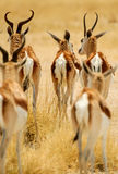 Back group of Springbok Royalty Free Stock Images