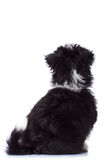 Back of havanese bichon Royalty Free Stock Photos