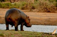 Back Hippopotamus. Hippopotamus in the earth in chobe stock photo