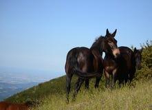 Black horses Stock Image