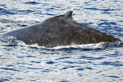 Back of Humpback whale Royalty Free Stock Image
