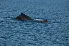 Back of humpback whale and calf royalty free stock image
