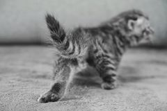 Back of the kitten, tail, fanny and paws. The kitten leaves Stock Photo