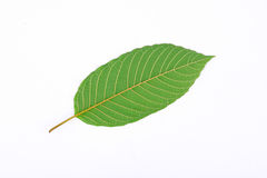 The back of Kratom leaf (Mitragyna speciosa), a plant of the madder family used as a habitforming drug Stock Image
