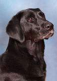 Back Labrador Retriever. This is an image of a male Black Labrador Retriever Stock Photos