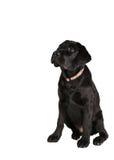 Back labrador retriever puppy Royalty Free Stock Photos