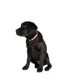 Back labrador retriever puppy Stock Photo