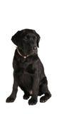 Back labrador retriever puppy Royalty Free Stock Photo