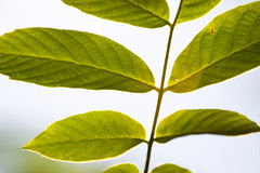 Back of leaves. Closeup of the back of green fresh leaves on a thin branch Royalty Free Stock Images