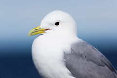 Back-legged kittiwake. (Rissa tridactyla royalty free stock photos